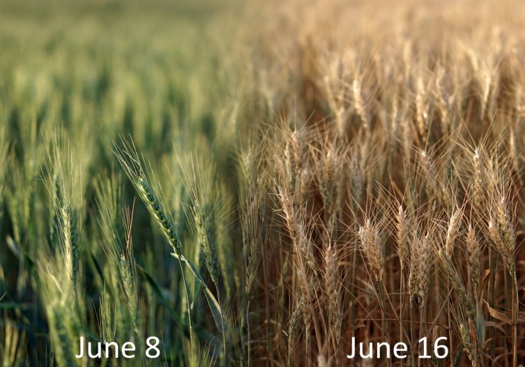 This is what a week of hot, windy weather will do to a field of green wheat. Same field, same location, 8 days apart. Smith Co, Kansas. - Photo by Doug Armknect