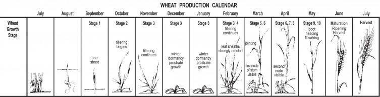 Image: Wheat production calendar.