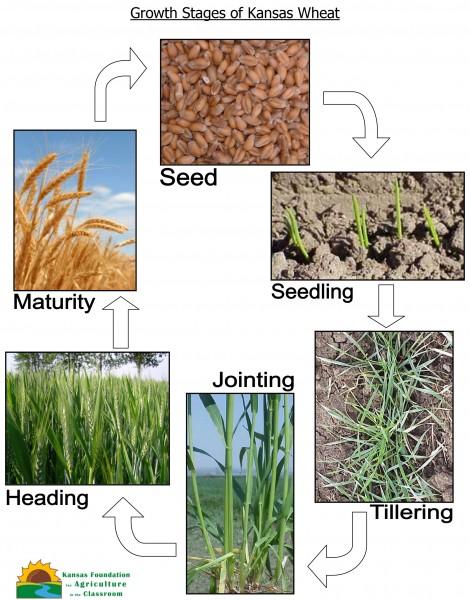 kernel to kernel kansas wheat