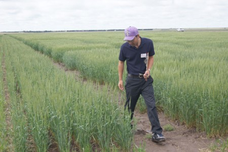 This part of the research station featured lines in yield trials. Zhang is checking the plots for signs of disease.