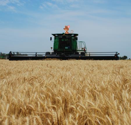 Kansas wheat, mouse, bread