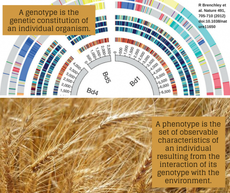 A genotype is the genetic constitution of an individual organism. A phenotype is the set of observable characteristics of an individual resulting from the interaction of its genotype with the environment.
