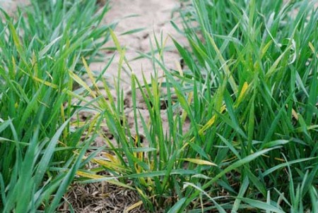 Photo of Wheat Streak Mosaic Virus taken by Erick DeWolf, K-State Research and Extension.