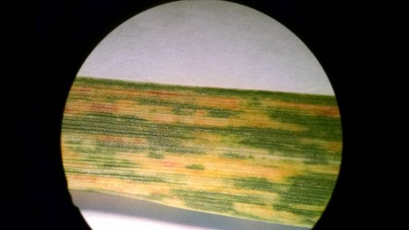 Close up under a microscope of wheat streak mosaic. Photo by Jeanne Falk Jones, K-State Agronomist