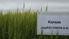 Photo: Wheat variety Joe growing in a test plot.