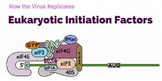 Because they do not have their own reproductive systems, these four viruses hijack the wheat plant's eukaryotic initiation factors to help them replicate.