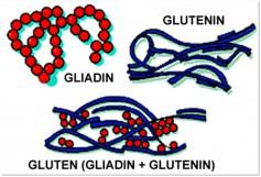 Image: Gluten (Gliadin + Glutenin)