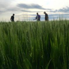wheat, Kansas Wheat, Wheat Quality Tour, green wheat