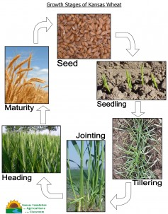 Image: Growth Stages of Kansas Wheat.