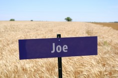The variety Joe, which was developed by the K-State breeding program, has good milling quality and also carries a gene for resistance to Wheat Streak Mosaic Virus.
