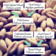 Wheat's Family Tree.