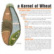 wheat, Kansas Wheat, kernel of wheat